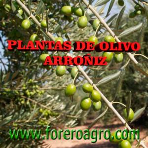Planta de Olivo Arroñiz